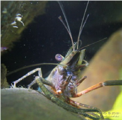 Fresh Shrimp. Taken at Babinda Boulders, Babinda, Queensl... by David Haintz 